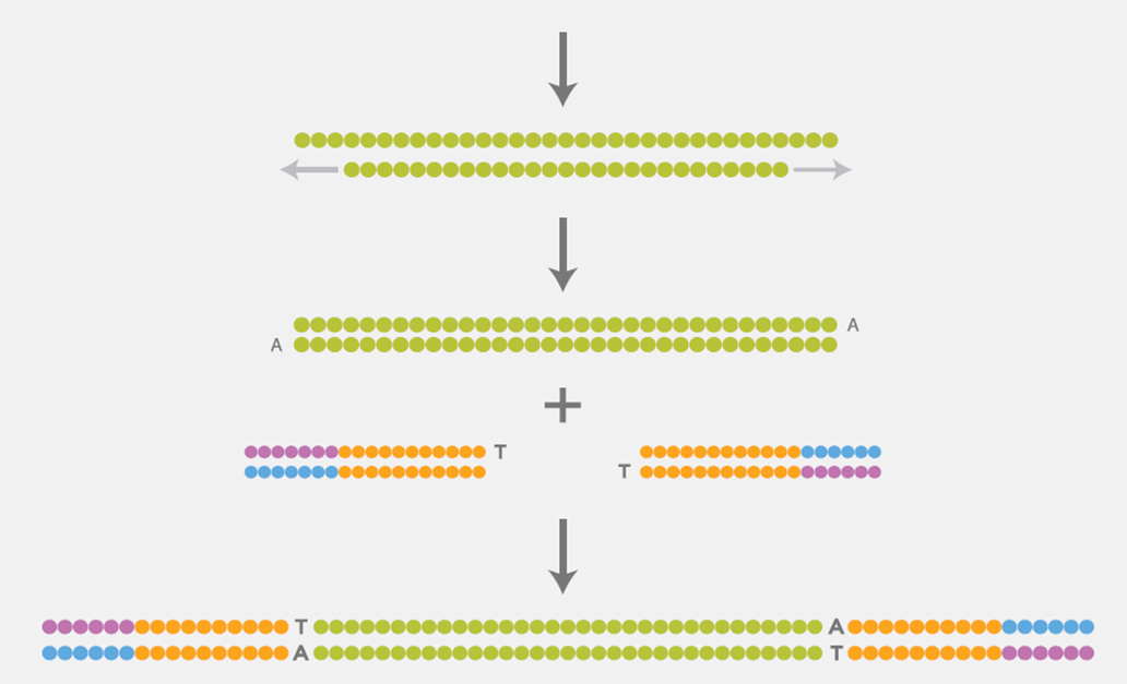 Preparation of a DNA library