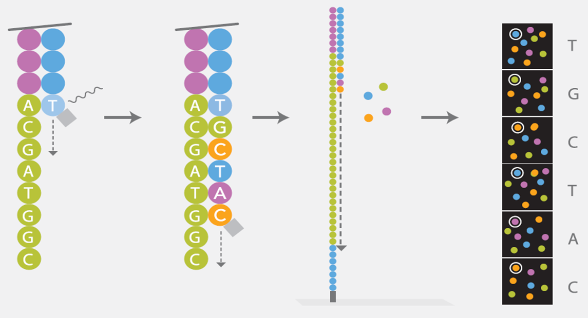 Illumina's Sequencing