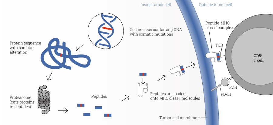 Presentation of tumor cell-derived somatic peptides. Somatic mutations arise frequently in cancer and permanently alter the genomic information. These genetic changes can result in expression of proteins with altered amino acid sequence. These, peptides which carry a somatic change, and thus display a particularly strong immunostimulatory potential, can be presented on the tumor cell surface and cause an effective anti-tumor immune response.